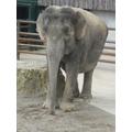 Annie the elephant.