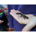 Newts in our pond - lots of them