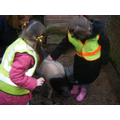 Tickling the pigs!