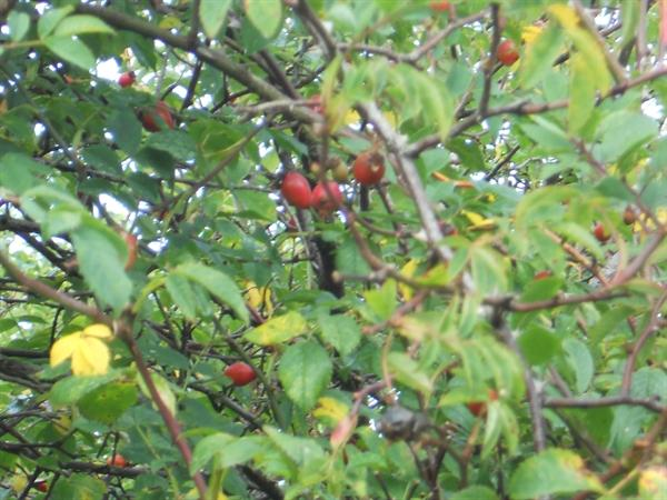 Identifying berries - Roes Hips!