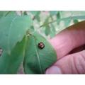 Ladybird lavae