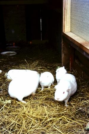 Timberley Guinea Pigs - 1964