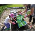 School Council Planting Lavendar
