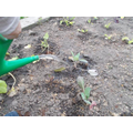 Watering our newly planted vegetables