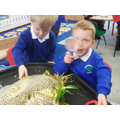 We examined a massive sunflower head!