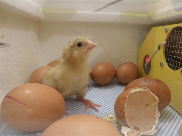 Chick number 8