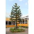 The 'Monkey Tree'