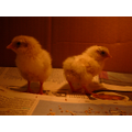 Our baby chicks!