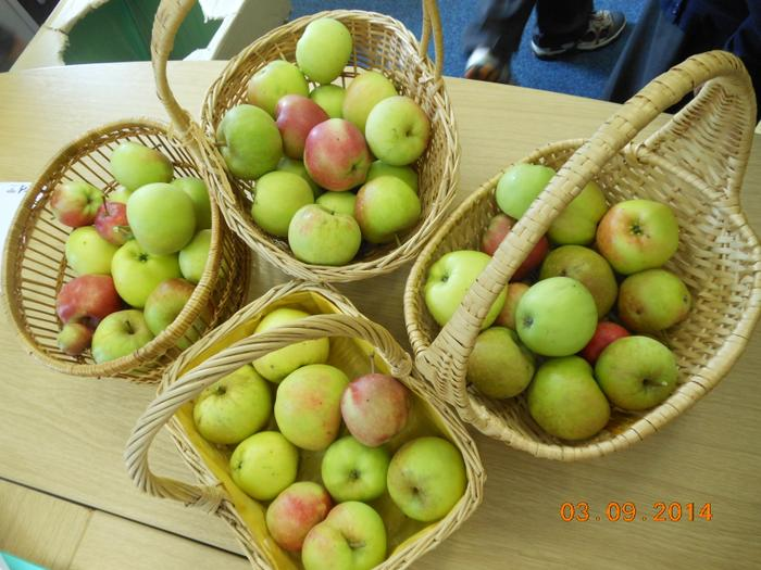 Our first bumper crop from our Orchard