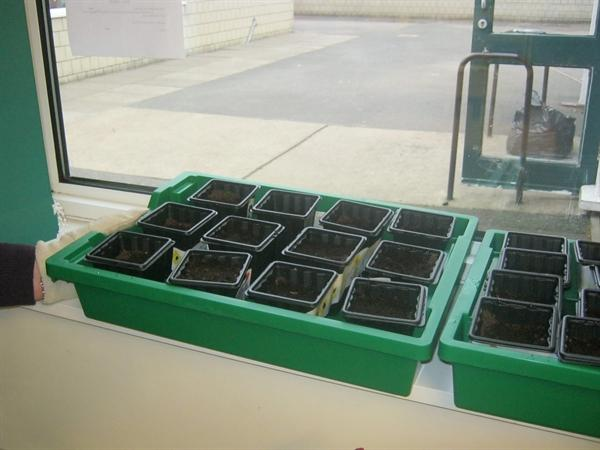 Week one: we planted our sunflowers this week.