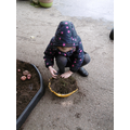 Searching through soil for really tiny potatoes!