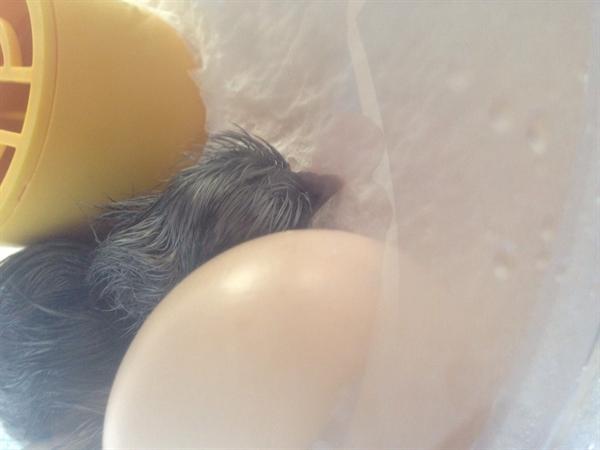 Chicks - 'Yolko'