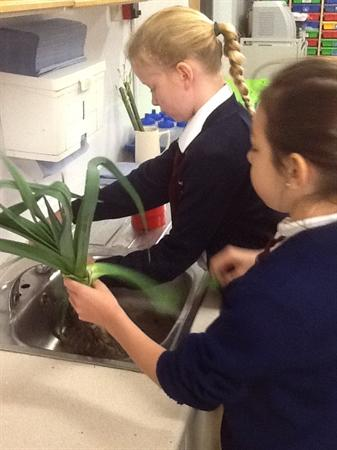 Washing & cutting leeks