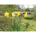 Daffodils in the Ecology area