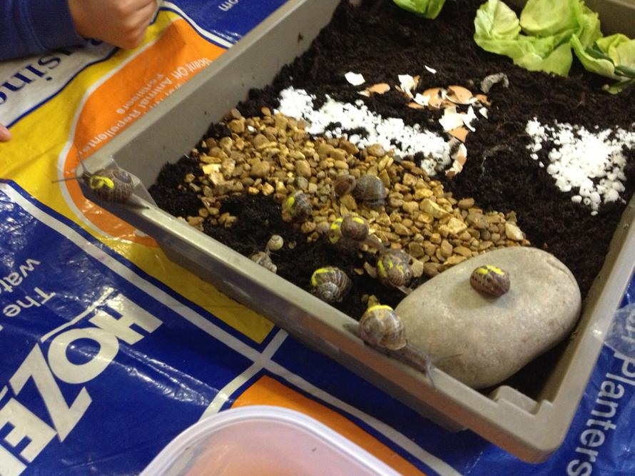 Snail experiment-will they travel over the stones?