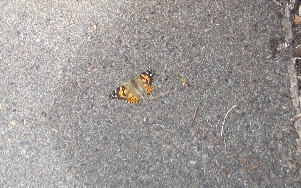 Windermere Butterflies (Summer 14)