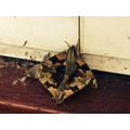 Harvey found a Hawk Moth at home one day.