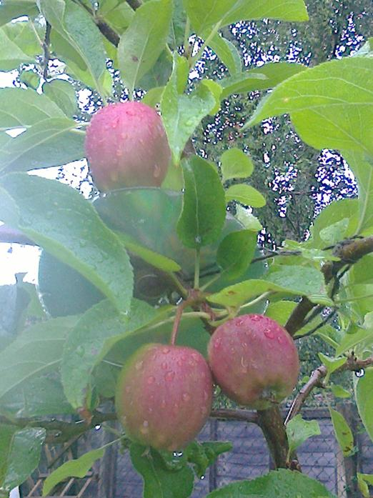 Apples in our orchard area