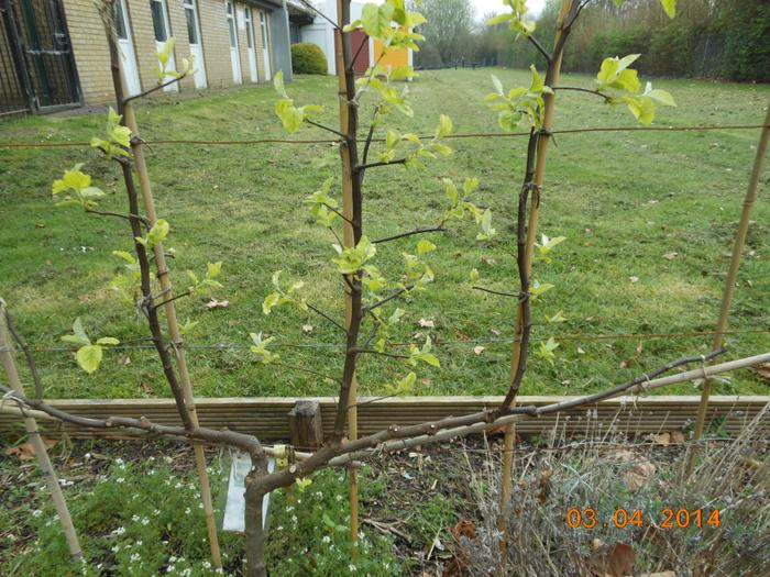 Growth on the pear tree