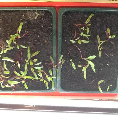 Seedlings in the propagator, after two weeks.