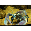 Norway blue lobster
