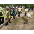 Feeding the wallabies.