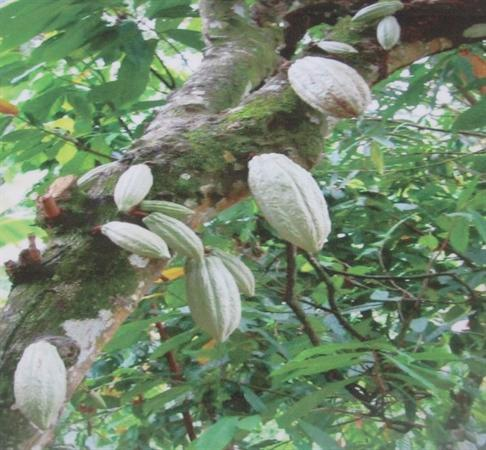 Cocoa pods growing in Africa
