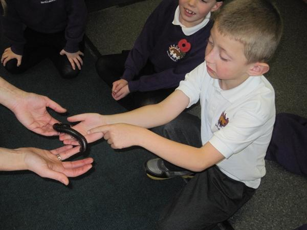 Giant Millipede