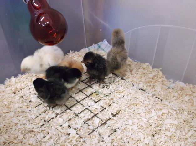 Our 6 fluffy chicks