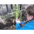 Year 6 Gardening club planting a privet hedge