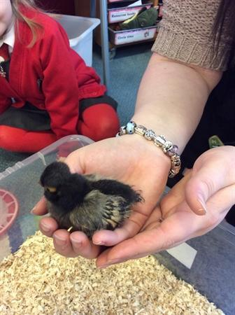 We have named this Chick Poland