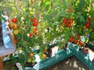 Our prize-winning greenhouse tomatoes!