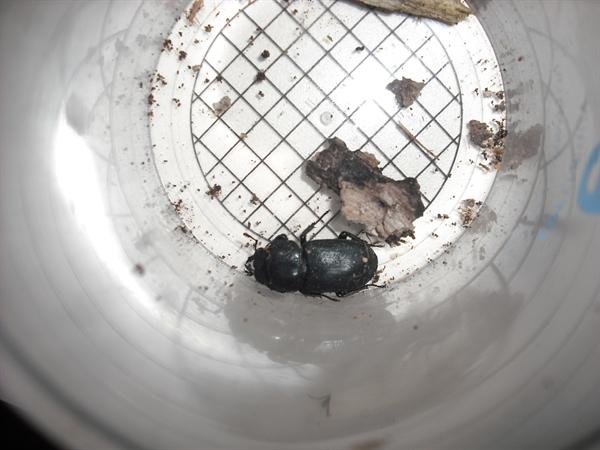 Look at this Lesser Stag Beetle we found!