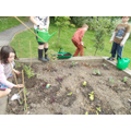 Planting beans and vegetables