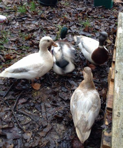 Here are the ducks!