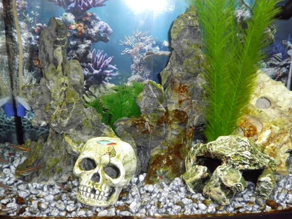 Toucan Tetra aquarium