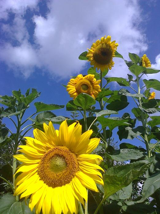Our sunflowers were beautiful