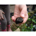 Our pond session - Greater Ramshorm pond snail