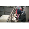 The sheep were very hungry!