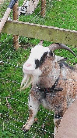 Meet Murphy the goat!