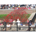 Poppies flow at the Tower of London