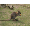 The wallaby eating a piece of carrot.